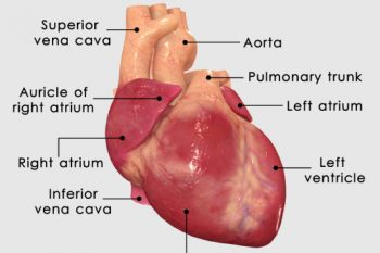 Como funciona o coração?